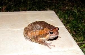 жаба на острове Ко Панган