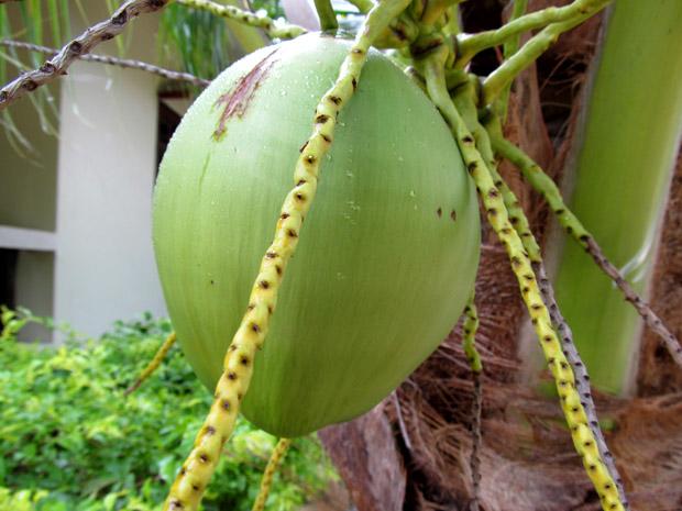 kokos001
