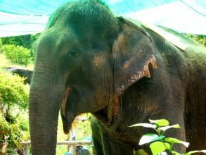 Ферма слонов на Пангане