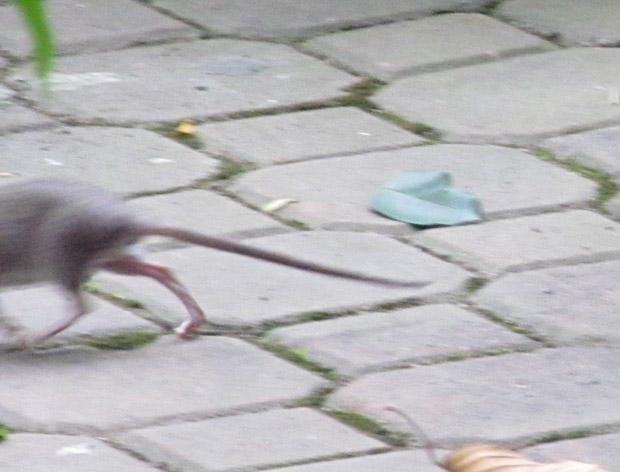 крыса в Сайгоне
