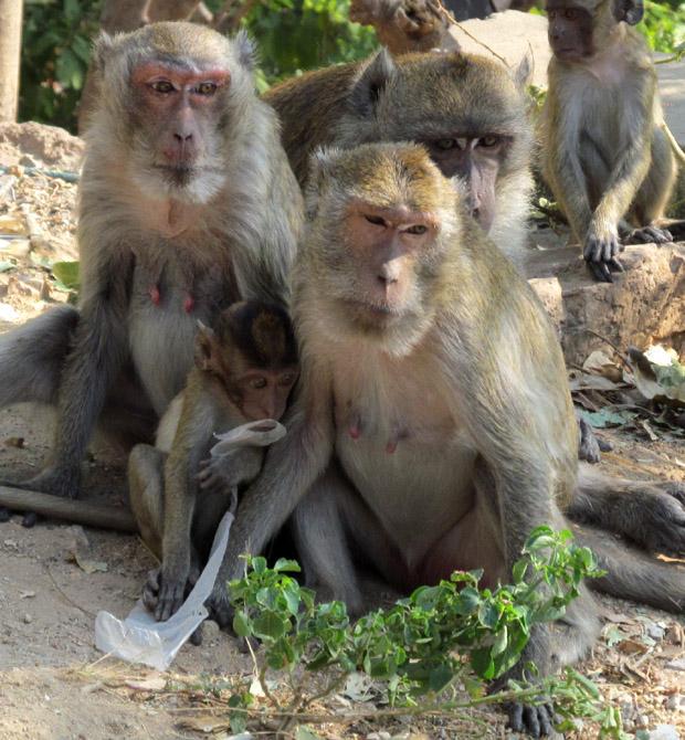 обезьяны Такиаб