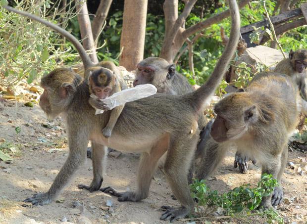 обезьяны в Хуа Хине