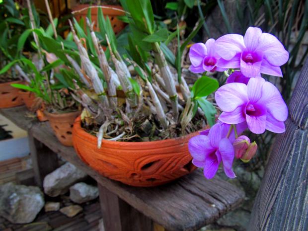 орхидеи в Хуа Хине