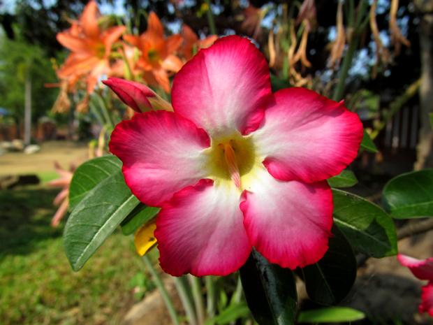 цветок в Хуа Хине