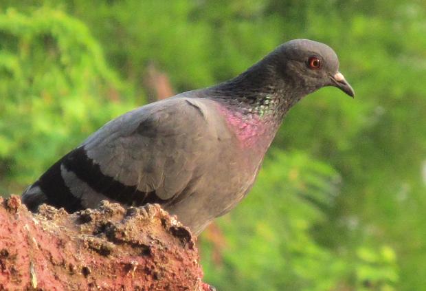 голубь в Таиланде