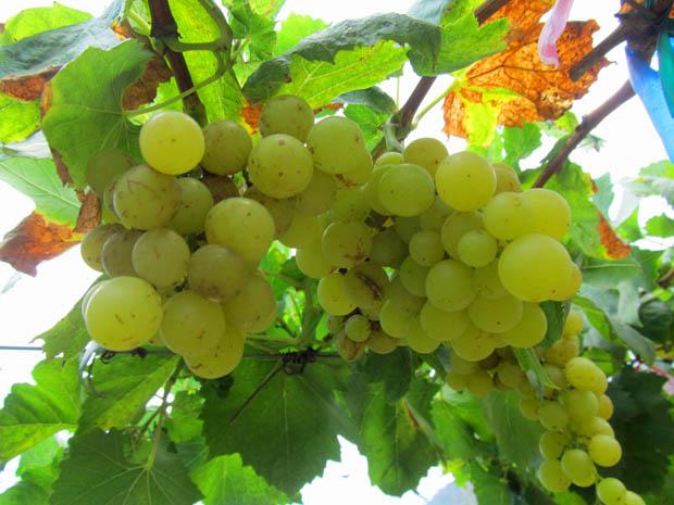 виноградники в Таиланде