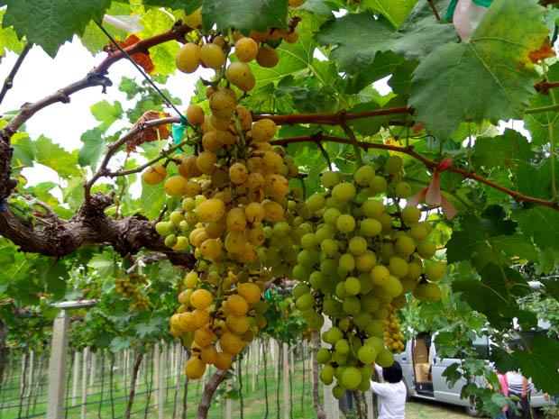 виноградники в Хуа Хине