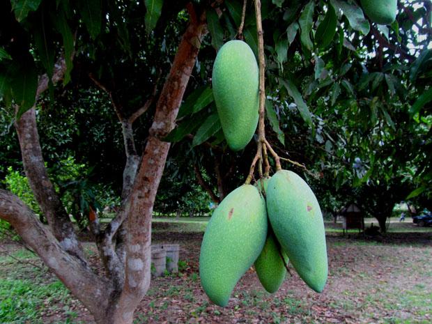 как растут манго