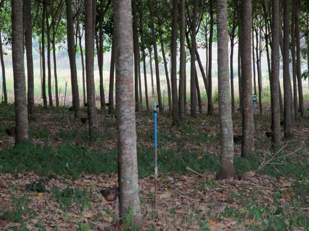 каучуковые деревья