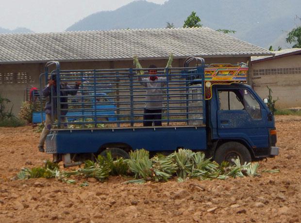 посадка ананасов
