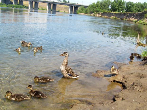 утки на воде