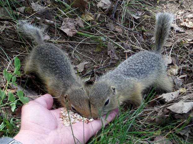 суслики едят с руки
