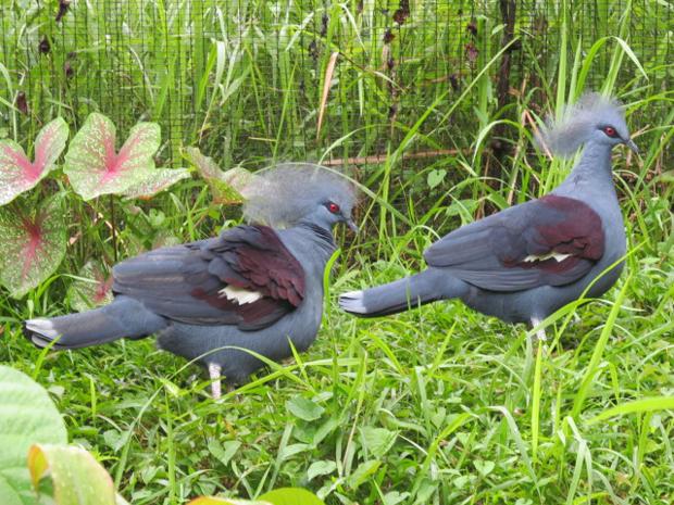 венценосные голуби