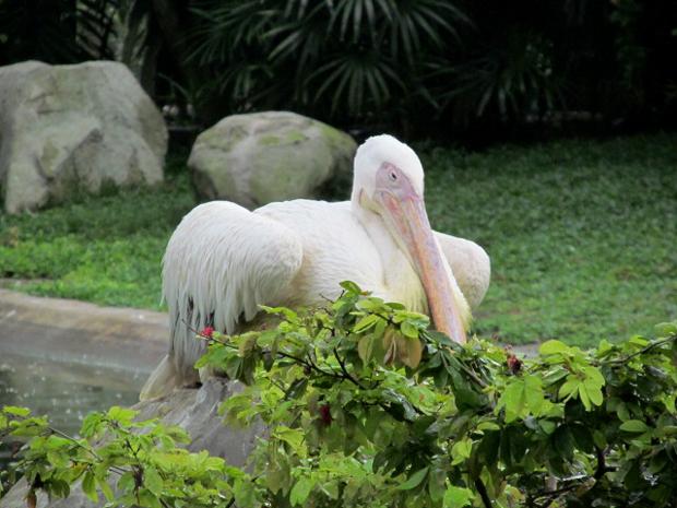 пеликан в куала-лумпурском парке птиц
