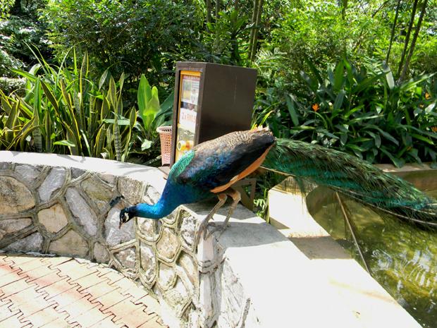 павлин в куала-лумпуре