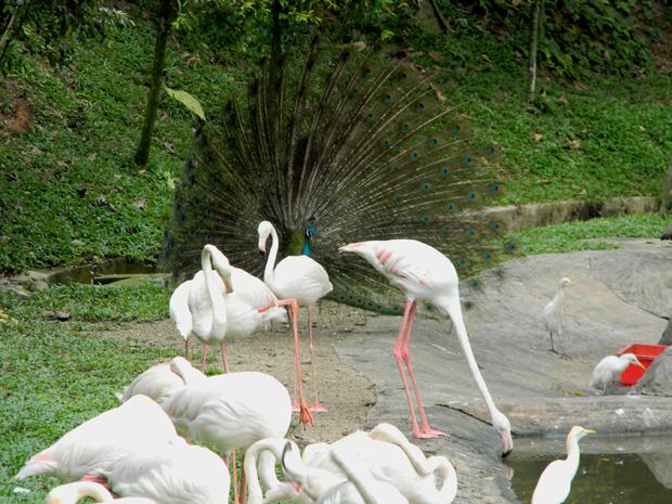 фламинго и павлин