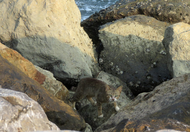 кот на пляже Ча Ама