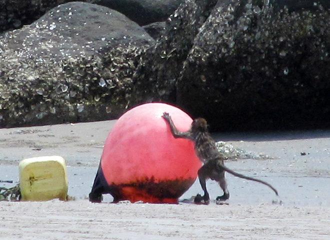макака на пляже