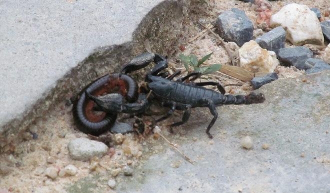 скорпион на острове Панган