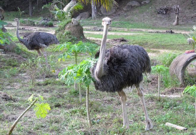 страусы на Пангане