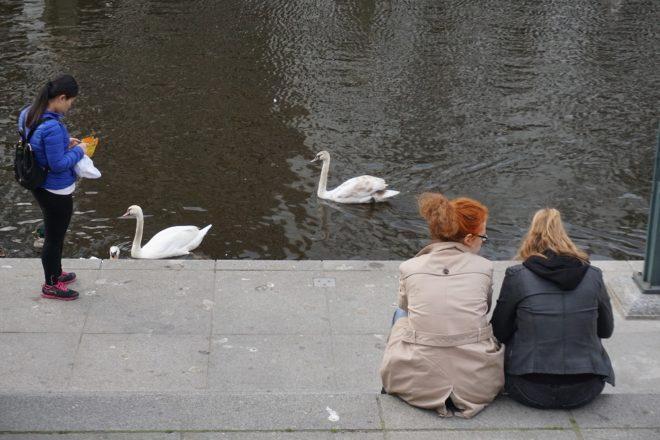 лебедь гамбургский