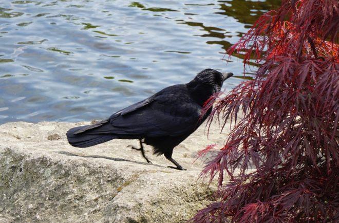ворона гамбургская