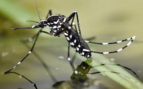 комар переносчик Денге